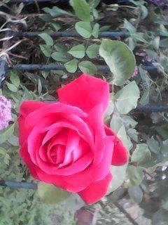 ROSES IN BLOOM - Chic Net
