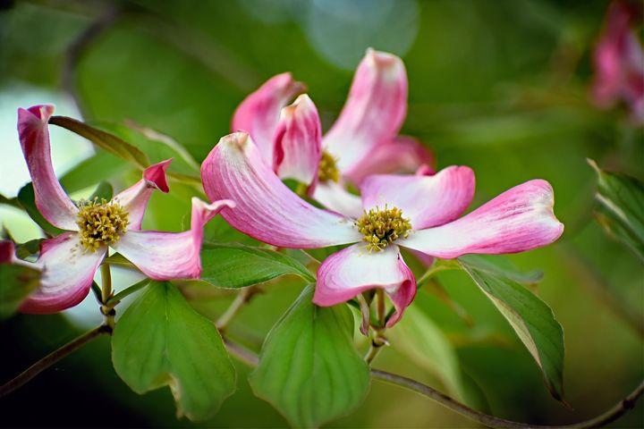 Dogwood Tree Blossoms - The1Essence Presentations