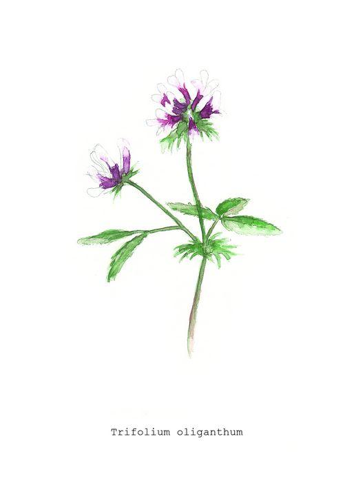 Trifolium oliganthum - LE Squires