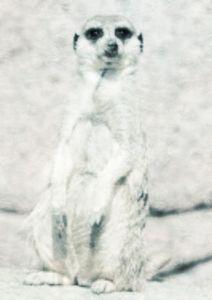 Winter Meerkat