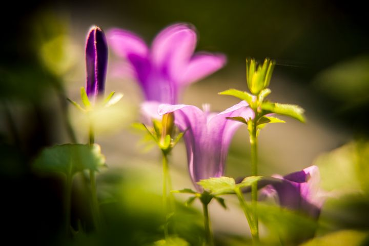 Purple bloom - Photography