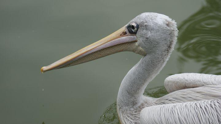 Pelican - Kelly A Sullivan Photography