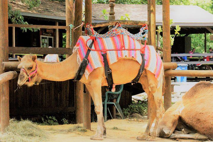 Camel - Kelly A Sullivan Photography