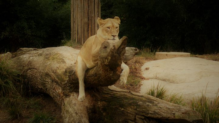 Lion on a Tree - Kelly A Sullivan Photography