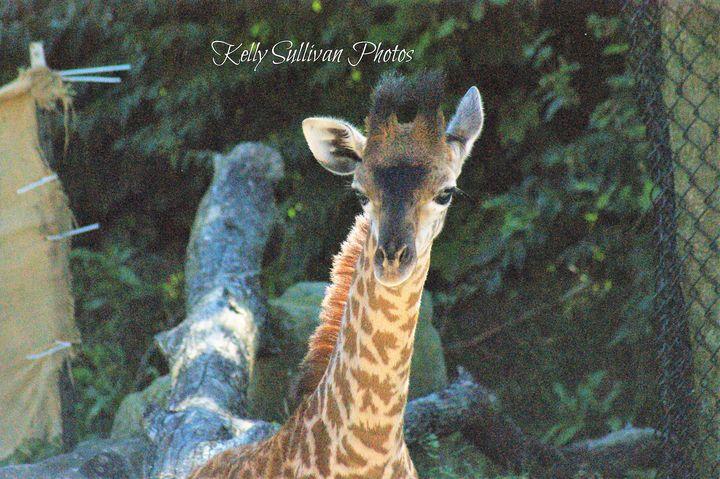 Baby Giraffe - Kelly A Sullivan Photography