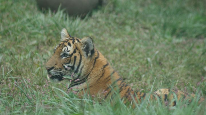 Bengal Tiger - Kelly A Sullivan Photography