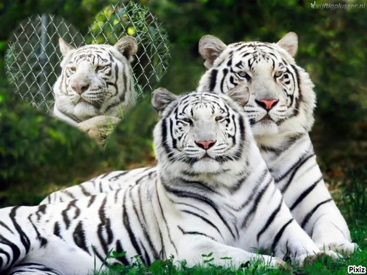 White Tigers - Kelly A Sullivan Photography