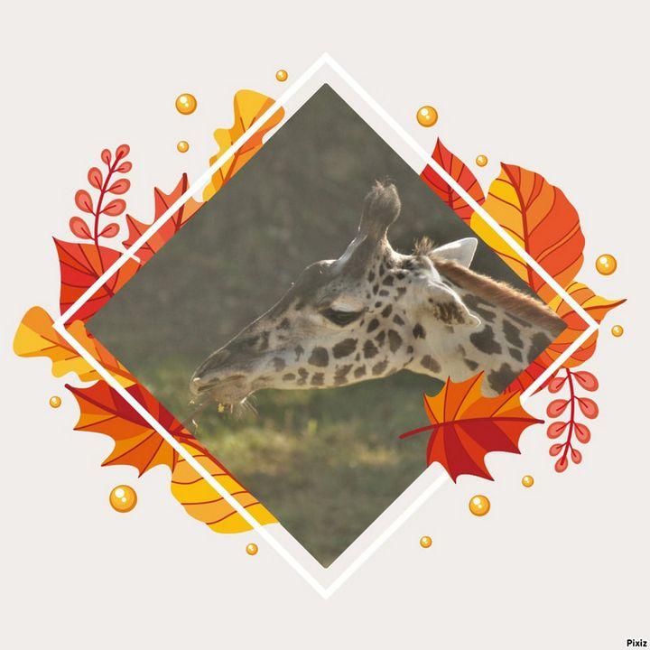 Giraffe - Kelly A Sullivan Photography