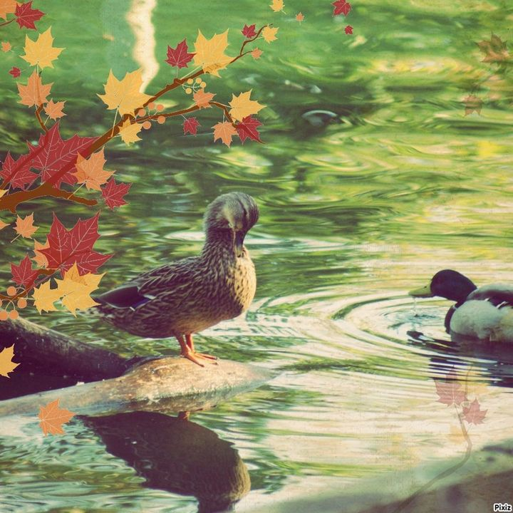 Ducks - Kelly A Sullivan Photography