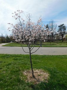 Small Weeping Cherry Tree