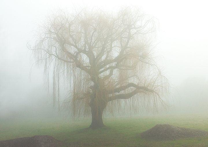 Willow in Fog - Gilbert Draper Photography