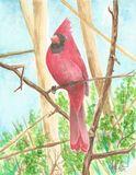 Original Cardinal Perch