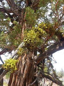 Desert Lichen