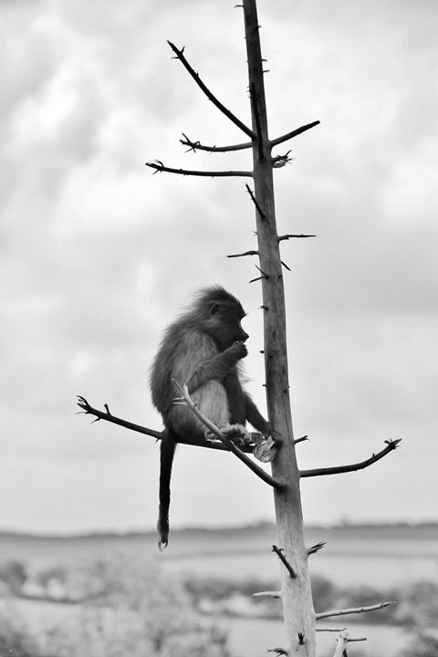monkey in tree - Laurahayles photography
