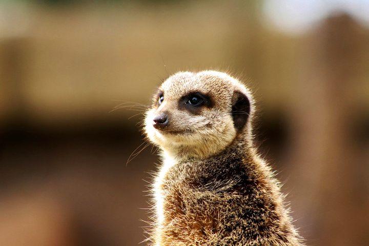 meerkat - Laurahayles photography
