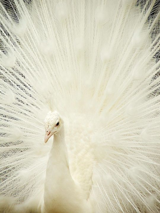 white peacock - Laurahayles photography