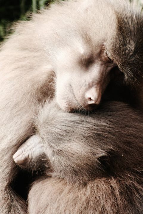 monkey love - Laurahayles photography