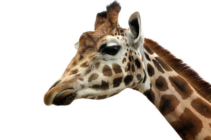 Giraffe - Laurahayles photography
