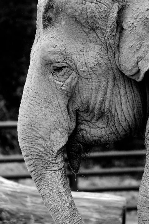 elephant - Laurahayles photography