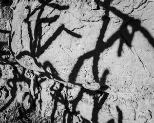Cholla Shadows BW