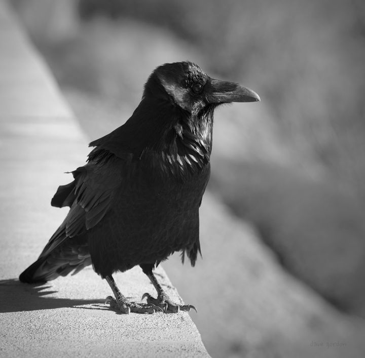 Raven IV BW - Dave Gordon Arts