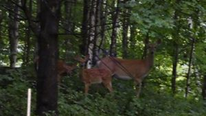 Doe and Two Babies