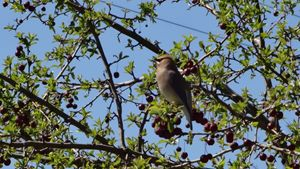 Cedar Waxwing Beauty