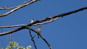 Cedar Waxwings High on the Branches - WinterFlowerArt