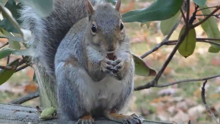 Hungry Gray Squirrel - WinterFlowerArt