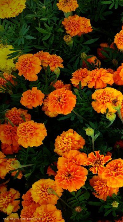 Marigolds 2051-Left - Bigan Fanli