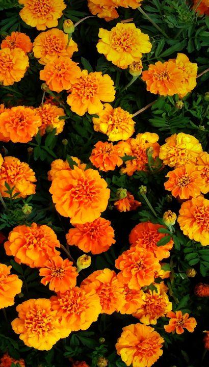 Marigolds 2051-Middle - Bigan Fanli