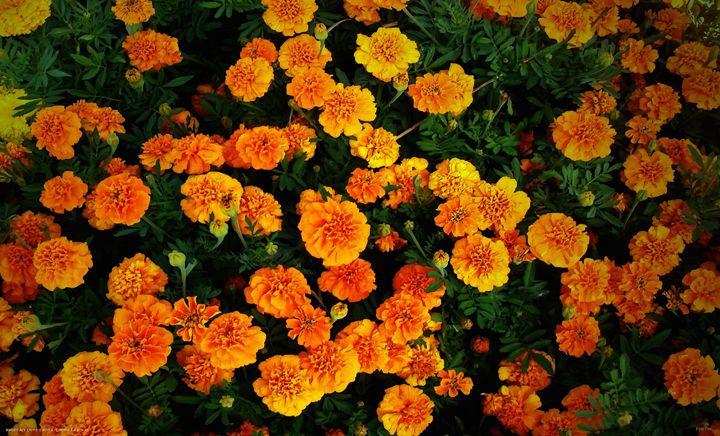 Marigolds 2051 - Bigan Fanli