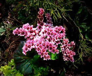 Flower 2063 - Bigan Fanli