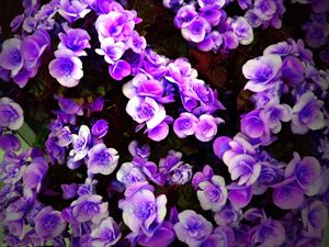 Blue Flowers - Bigan Fanli