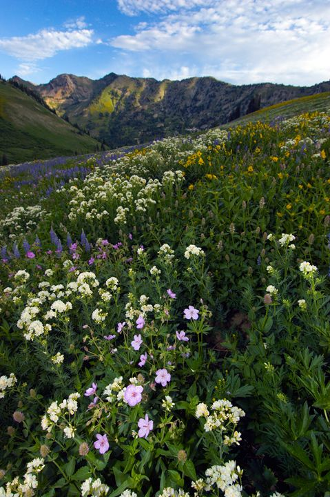 Albion Basin Summer - Roy Breslawski Nature Photography