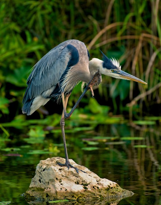 Heron Itch - Roy Breslawski Nature Photography