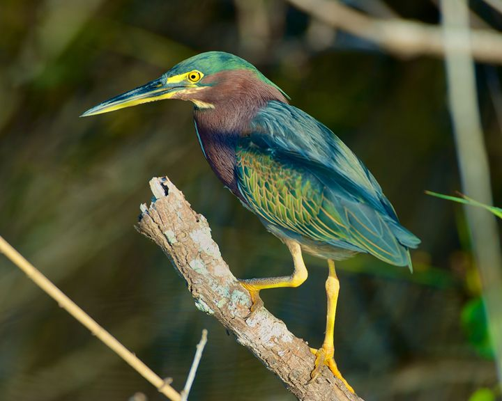 Green Heron - Roy Breslawski Nature Photography