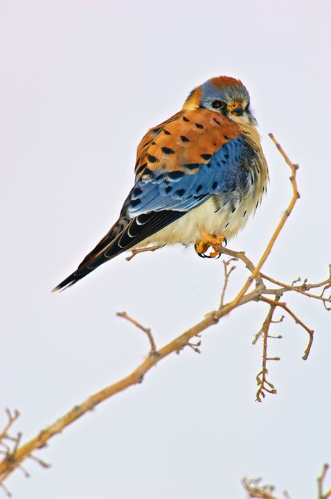 American Kestral - Roy Breslawski Nature Photography