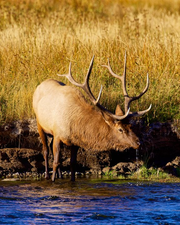 Drinking Elk - Roy Breslawski Nature Photography