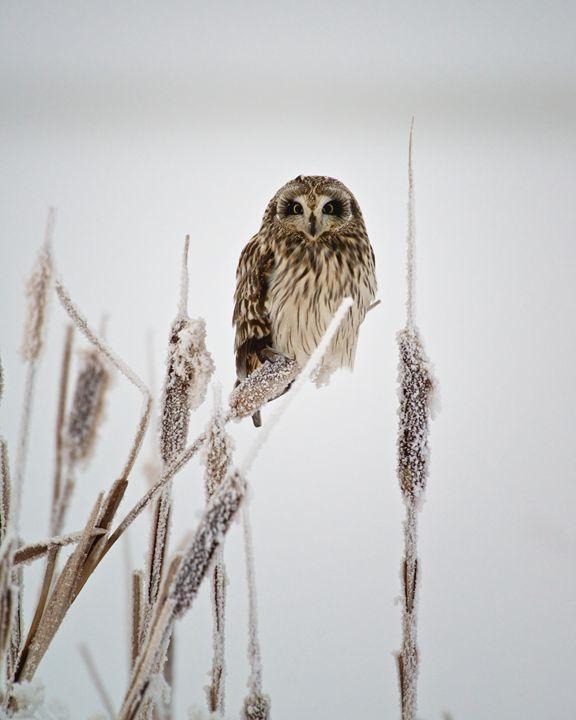 Northern Saw-whet Owl - Roy Breslawski Nature Photography