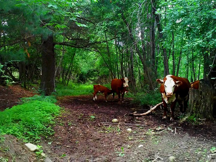 Cows in a Clearing - Olive Detritus