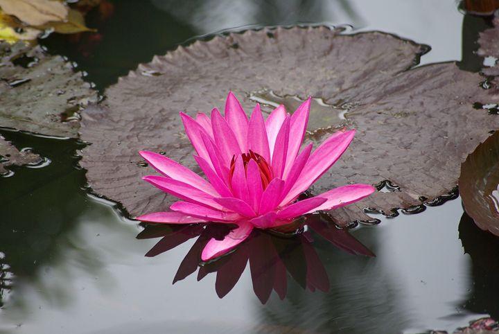 Water Lily 2 - VAK