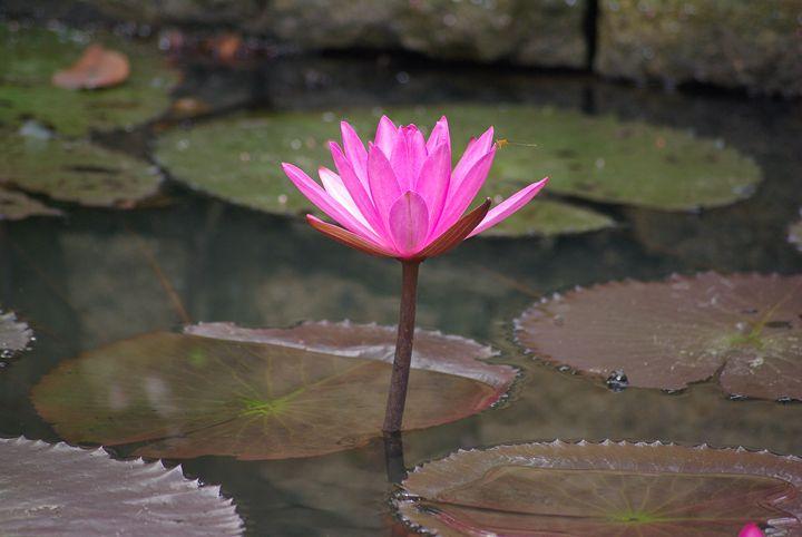 Water Lily - VAK