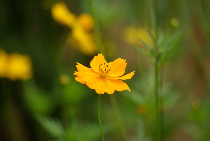 Pansy Flower - VAK