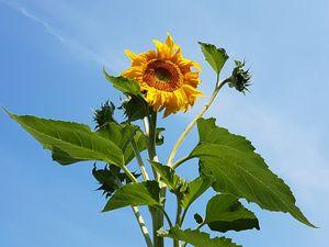 Rising Sunflower