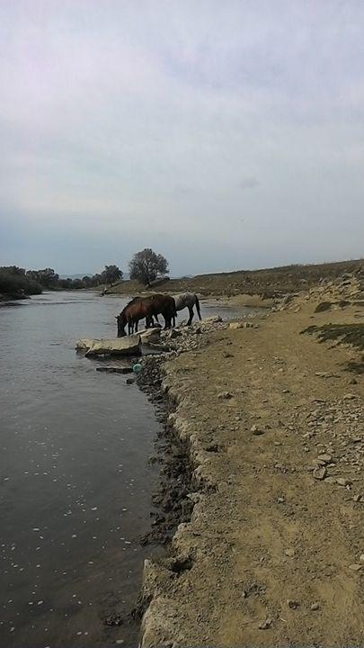 Wild horses - Nive
