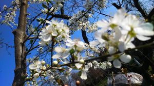 White flowers, blue sky