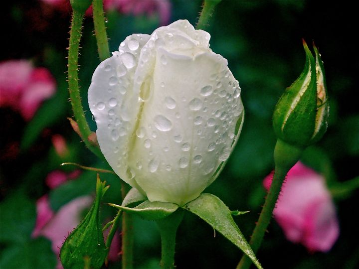 Rose Rain - jak tit 90201 Beverly Hills Original
