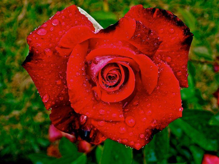 Red Rose - jak tit 90201 Beverly Hills Original