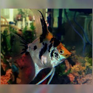 Koi Angel Fish